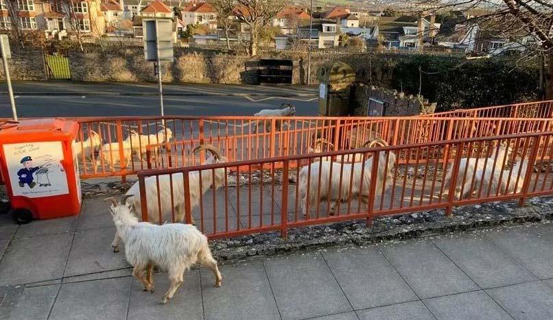 goats llandudno